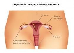 Migration de l'ovocite après ovulation